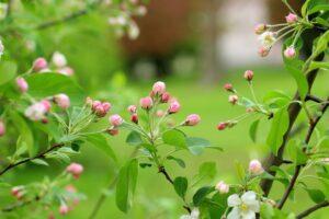Tips til dig der ønsker egne frugttræer i haven